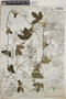 Dalechampia scandens L., Mexico, G. F. Gaumer 1293, F