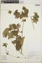 Dalechampia scandens L., Mexico, D. G. Burch 2983, F