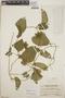 Dalechampia scandens L., Guatemala, P. C. Standley 88554, F