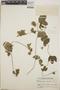 Dalechampia scandens L., Guatemala, P. C. Standley 61355, F