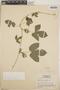 Dalechampia scandens L., Honduras, L. O. Williams 16960, F