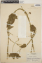 Dalechampia scandens L., Honduras, A. Molina R. 3614, F