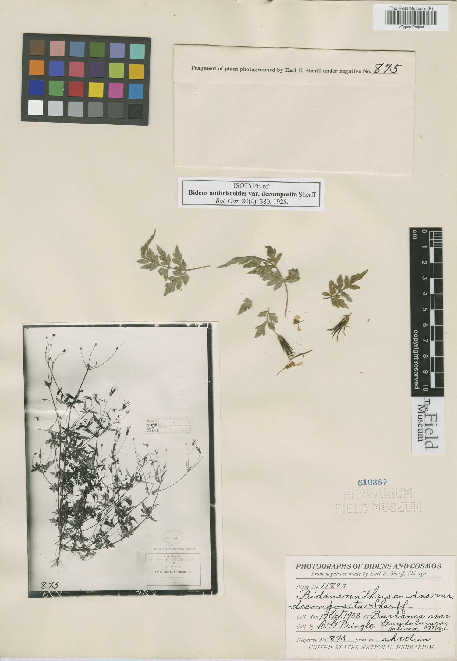 Bidens anthriscoides image