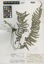 Dryopteris dichrotrichoides Alderw., Philippines, C. M. Weber 1173, Isotype, F