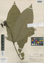 Palicourea lucidula Standl., PERU, E. P. Killip 28816, Holotype, F