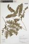 Lindsaea bolivarensis image