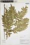 Lindsaea phassa image