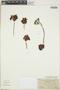 Echeveria subalpina Rose & Purpus, Mexico, C. A. Purpus 5366, F