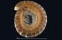 405 Cleidogona habitus, lateral view