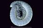 405 Cleidogona habitus, lateral view, UV
