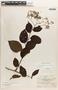 Tournefortia maculata Jacq., Panama, L. H. Bailey 237, F