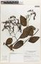 Tournefortia maculata Jacq., Panama, M. D. Corrêa A. 10804, F