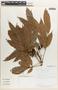 Tapirira mexicana Marchand, Costa Rica, E. Bello C. 455, F
