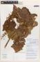 Mallotus barbatus Müll. Arg., Laos, K. Nanthavong BT 663, F