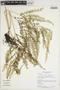 Lindsaea tenuifolia image