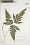 Triplophyllum vogelii image