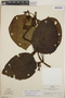 Peltastes peltatus (Vell.) Woodson, Brazil, L. B. Smith 13123, F