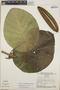 Peltastes peltatus (Vell.) Woodson, Brazil, W. R. Anderson 9926, F
