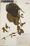 Peltastes peltatus (Vell.) Woodson, Brazil, R. Kummrow 2076, F