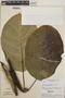 Peltastes peltatus (Vell.) Woodson, Brazil, H. S. Irwin 13179, F