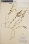 Euphorbia anychioides image
