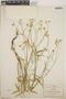 Euphorbia ariensis image