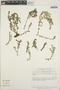 Euphorbia astyla image