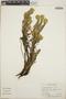 Euphorbia beamanii image