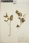 Euphorbia colletioides image