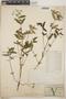 Euphorbia hypericifolia L., Mexico, G. F. Gaumer 508, F