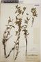 Euphorbia hypericifolia L., Mexico, G. F. Gaumer 24016, F