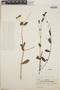 Euphorbia hypericifolia L., Mexico, T. Haenke 1643, F