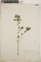 Euphorbia hypericifolia L., Mexico, C. F. Millspaugh, F