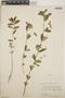 Euphorbia hypericifolia L., Mexico, W. C. Steere 1234, F