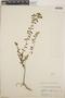 Euphorbia hypericifolia L., Mexico, W. C. Steere 1086, F