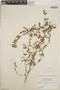 Euphorbia hypericifolia L., Belize, P. H. Gentle 124, F