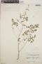 Euphorbia hypericifolia L., Belize, C. L. Lundell 1841, F
