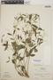 Euphorbia graminea image