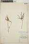 Euphorbia cuphosperma image