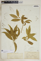 Rauvolfia nitida Jacq., Bahamas, N. L. Britton 306, F
