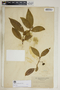 Rauvolfia nitida Jacq., Jamaica, J. H. Hart, F
