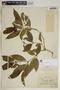Rauvolfia nitida Jacq., Jamaica, J. R. Perkins 1195, F