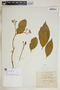 Rauvolfia nitida Jacq., Jamaica, Wm. Harris 11113, F