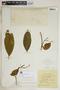 Rauvolfia nitida Jacq., Jamaica, Wm. Harris 8410, F