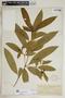 Rauvolfia nitida Jacq., U.S. Virgin Islands, A. E. Ricksecker 428, F