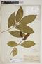 Rauvolfia nitida Jacq., U.S. Virgin Islands, Mrs. Rev. J. J. Ricksecker 373, F