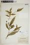 Rauvolfia nitida Jacq., U.S. Virgin Islands, N. L. Britton 1325, F