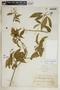 Rauvolfia nitida Jacq., Dominican Republic, H. von Türckheim 3485b, F