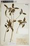 Rauvolfia nitida Jacq., Dominican Republic, H. von Türckheim 2831, F