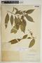 Rauvolfia nitida Jacq., Dominican Republic, C. Wright 407, F